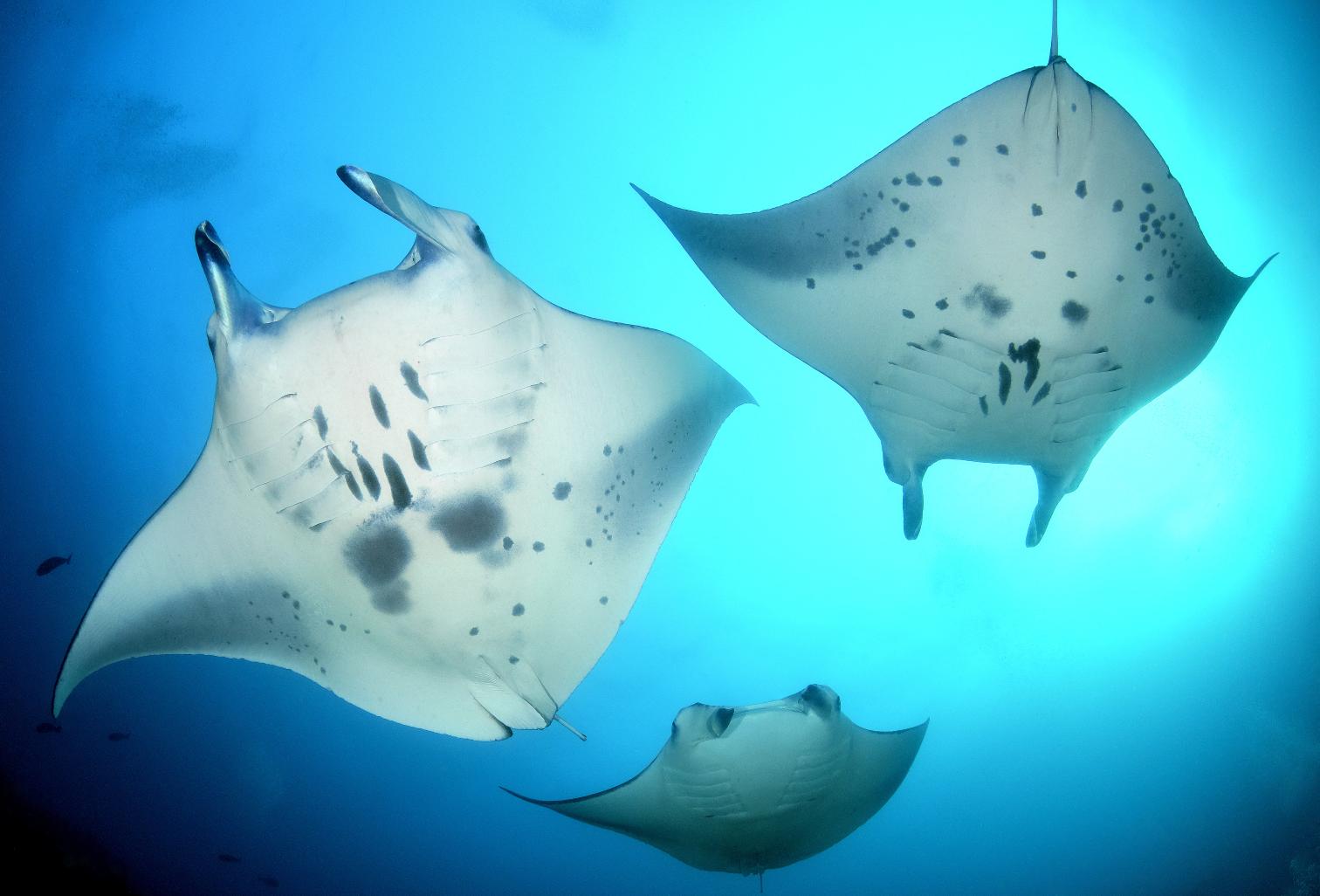 Risultati immagini per nuotare con le razze maldive